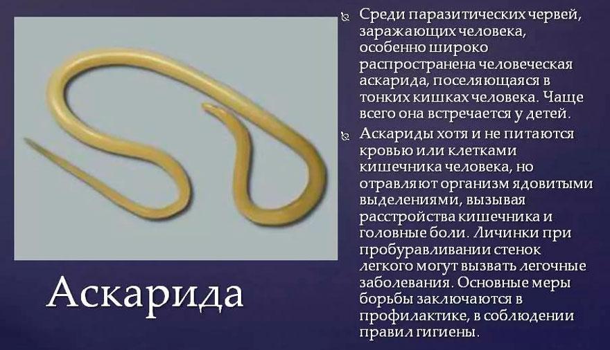 паразиты аскариды