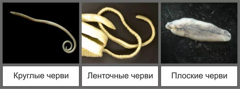 классификация глистов