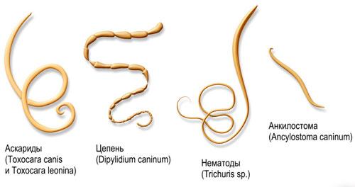 наиболее распространенные внутренние паразиты