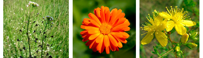 растения для терапии гастрита