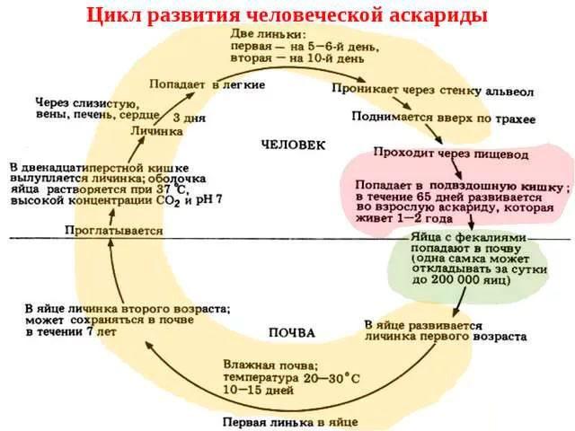 жизненный цикл аскарид