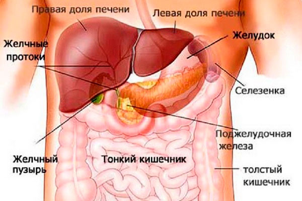 желудок и соседствующие с ним органы
